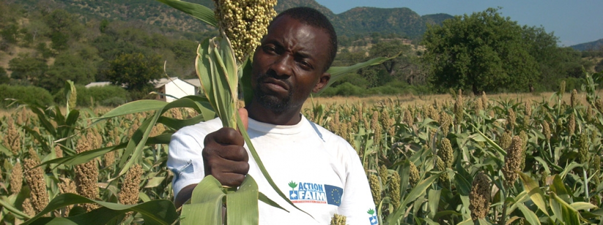 An ActionAgainst Hunger staff member harvests nutritious crops in Zimbabwe.