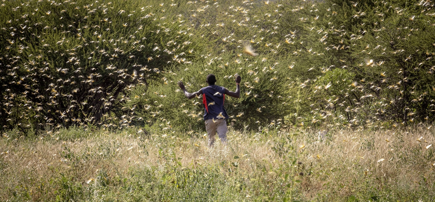 A man walks through a locust swarm in Kenya. © FAO/Sven Torfinn