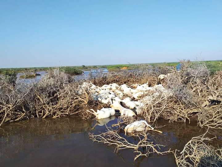 The recent floods have killed 1,500 livestock in Eyl, Somalia – the primary source of livelihoods for many families in the area.